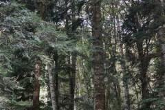 Abete-di-Douglas-Pseudotsuga-menziesii-Foresta-Umbra-Ottobre-2016