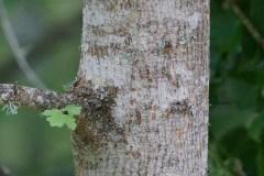 Acero-campestre-cortecca-albero-giovane-Maggio-2017