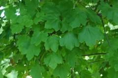 Acero-opalo-Foglie