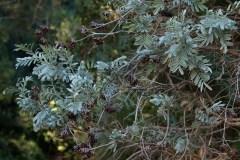 Anthyllis-barba-jovis-L.-Vulneraria-barba-di-Giove-Falesie-marine-Ottobre-2016-