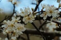 Biancospino-Fiore