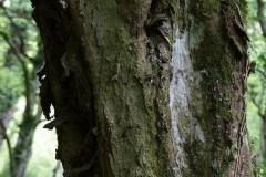 Carpino-bianco-Corteccia