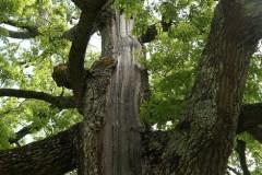 Cerro-Quercus-cerris-colpito-da-fumine