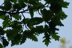 Cerro-foglie