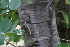 Ciliegio-canino-Prunus-mahaleb-corteccia