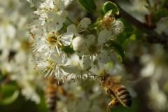 Ciliegio canino - Prunus mahaleb