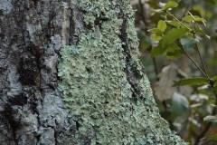 Flavoparmelia-caperata-Foresta-umbra-Dicembre-2017-1