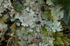 Parmelia-saxatilis-Particolare-Fajarama-Marzo-2018