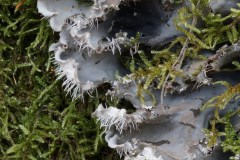 Peltigera-praetextata-bosco-quarto-febbraio-2018-s-3