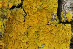 Xanthoria-parietina-Foresta-Umbra