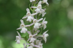 Gymnadenia-conopsea