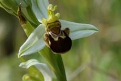 Ophrys-apifera-Monte-Spigno-Maggio-2017