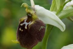 Ophrys-holosericea-subsp.-parvimaculata-