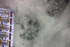 Gatto-selvatico-probaile1