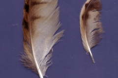 Gufo-comune-Asio-otus-Pineta-di-Siponto-Agosto-2005