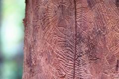 Scolitidi-foresta-umbra-28.10.12-1
