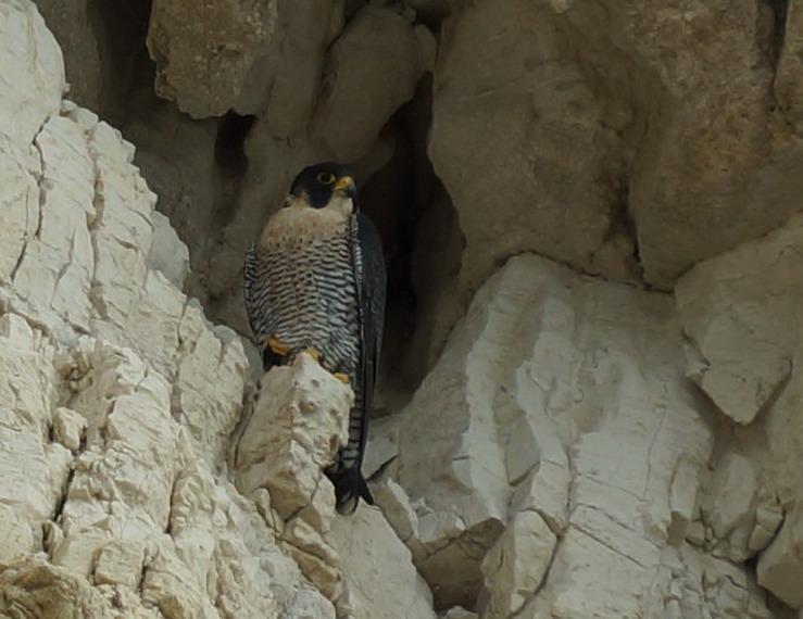 Falco peregrinus ssp brookeii- Falesie garganiche- Ottobre 2016
