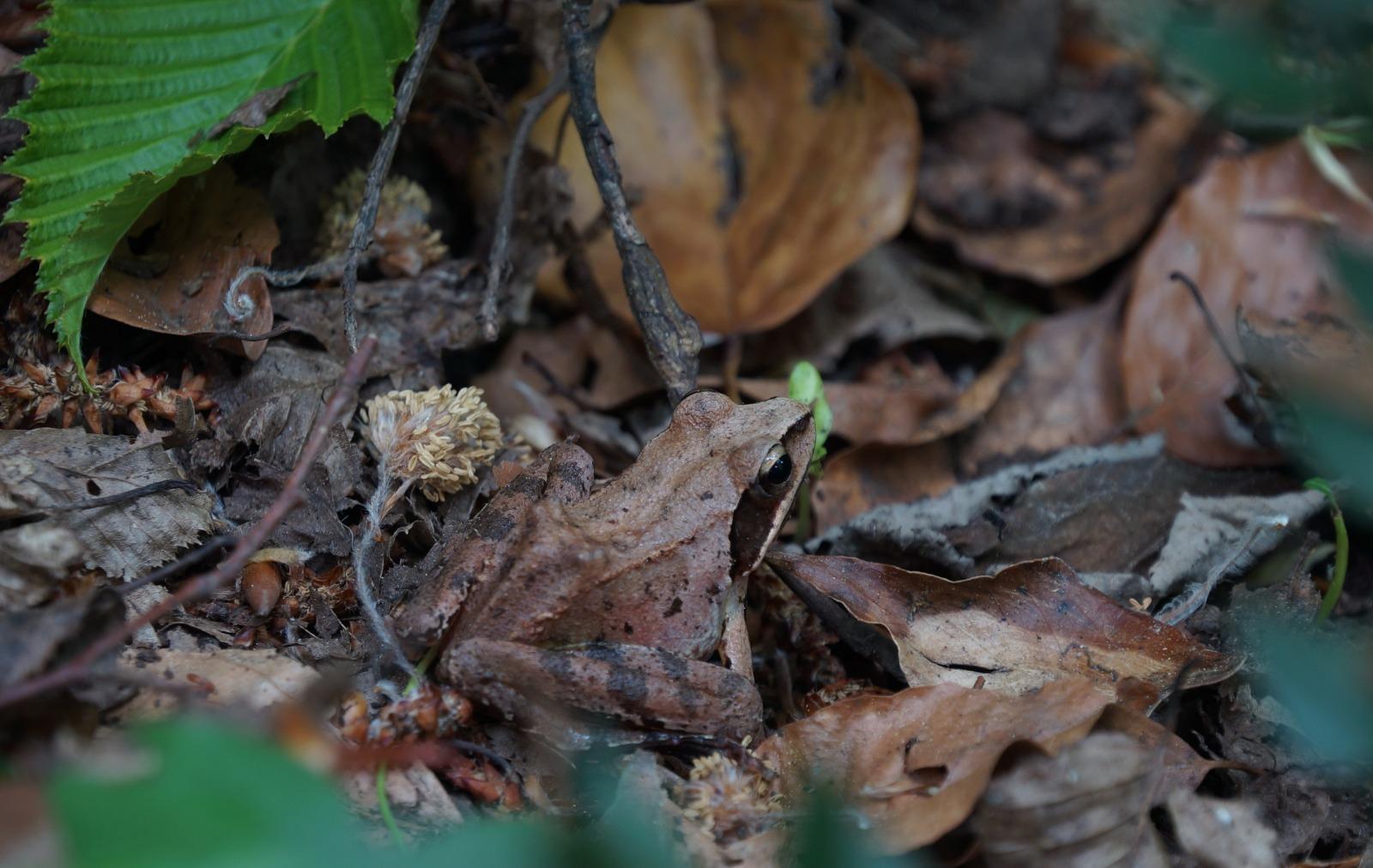 Rana Dalmatina - Foresta Umbra - Maggio2020