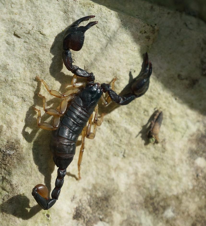Escorpius sicanus complex